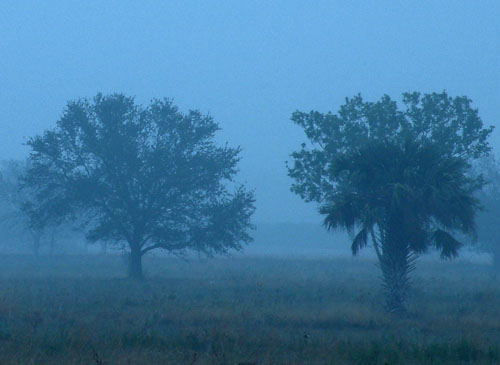 Orange trees seen through the early morning fog in Vero Beach, FL Florida